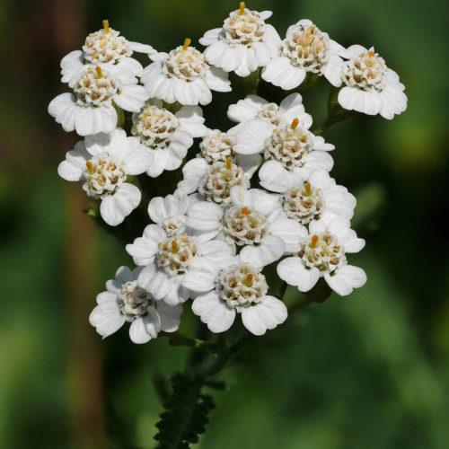 Yarrow_(Achillea_millefolium)