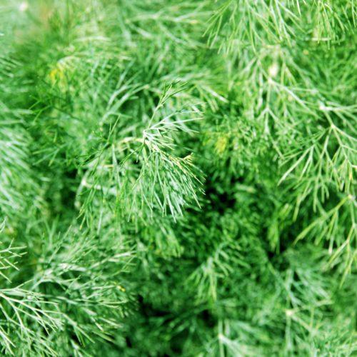 Fresh ingredients : fernleaf dill