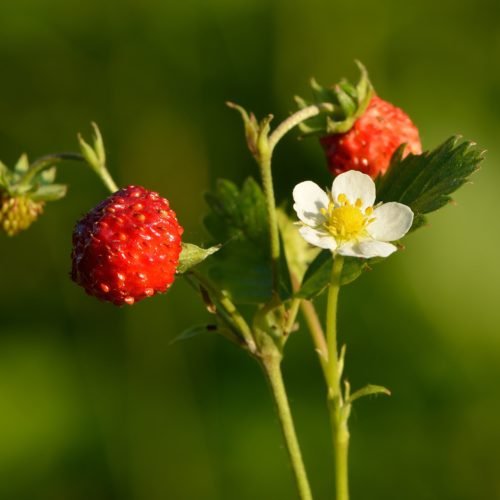 Fragaria Wild Strawberry