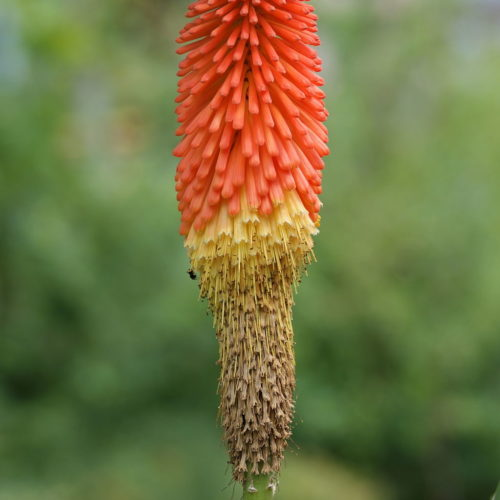 Kniphofia Red Hot Poker