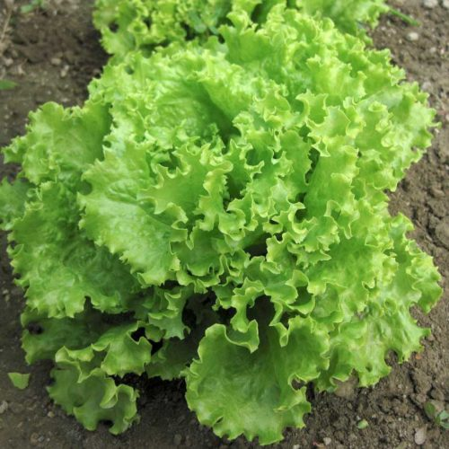 """Lettuce """"Salad Bowl"""""""