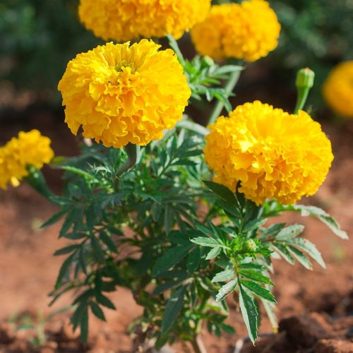 Marigold Medium