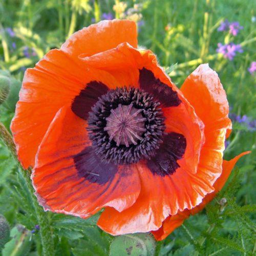 Papaver Oriental Poppy